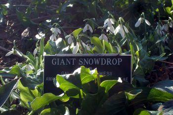 Bbg giant snowdrop 2-1-12