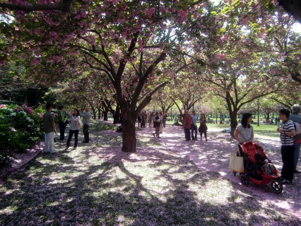 Cherry walk 4-21-12