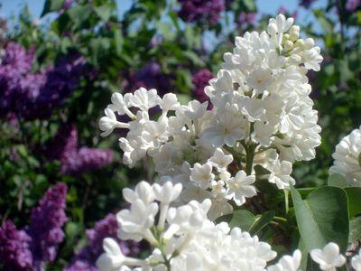 Bbg white lilacs