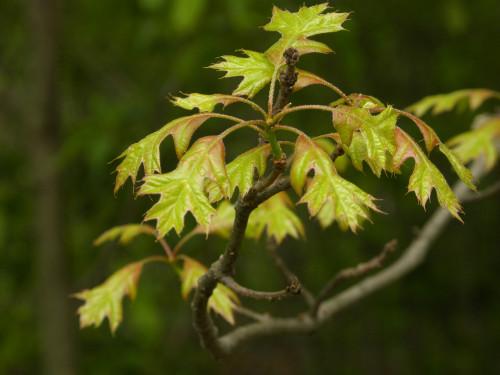Baby oak leaves 4-24-12