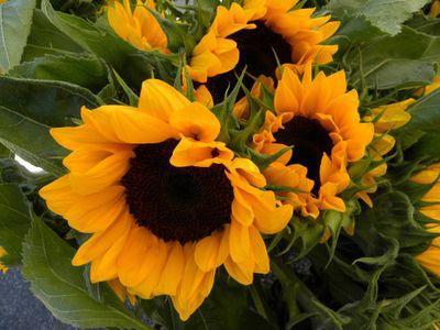 GM sunflowers 6-11-12