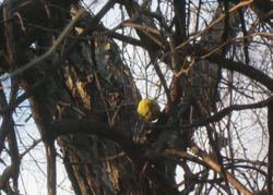 Osage orange tree 1-2-12