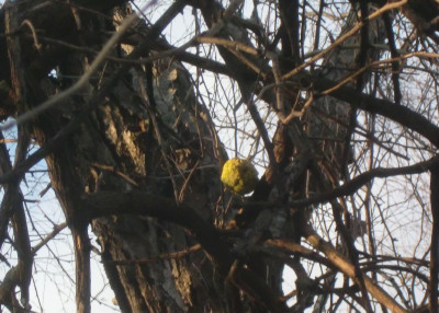 Osage orange tree 1-2-12