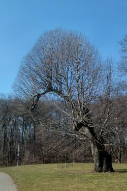 Mohawk tree 2-7-12