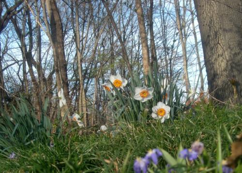 Narcissus 3-27-12