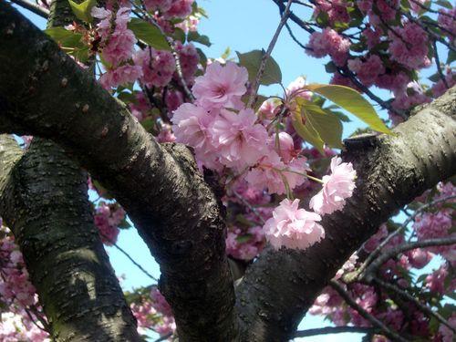 Cherry blossoms BBG 4-21-12