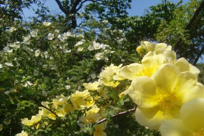 Bbg yellowrose 4-21-12