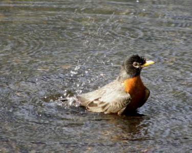 Robin bathing 4-24-12
