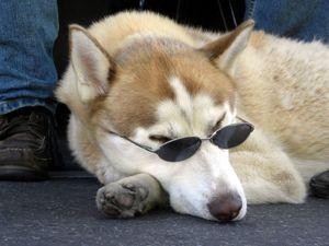 Buddy the husky 4-29-12