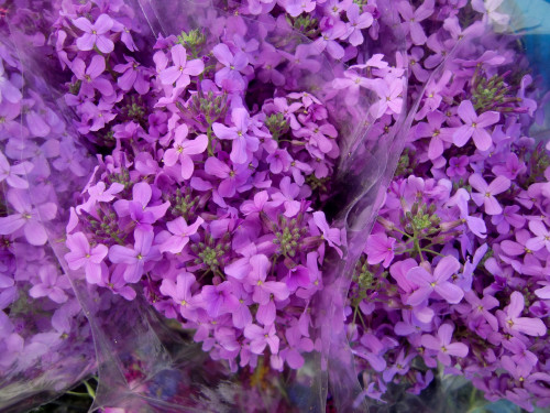 GM flowers hesperis 5-19-12