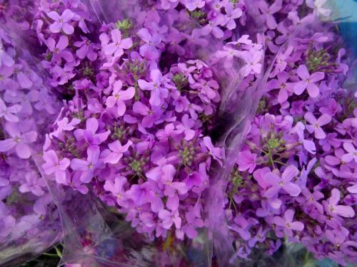 GM flowers hesperis 5-19-12