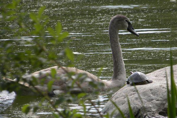 Lakeside swan&turtle 10-6-12
