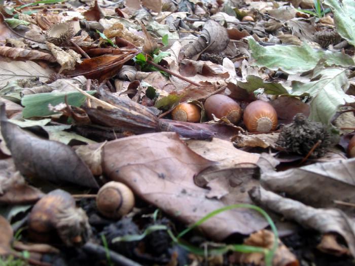 Post-sandy acorns 11-10-12