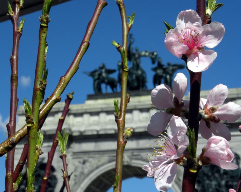 Cherry blossom GAP 3-30-13