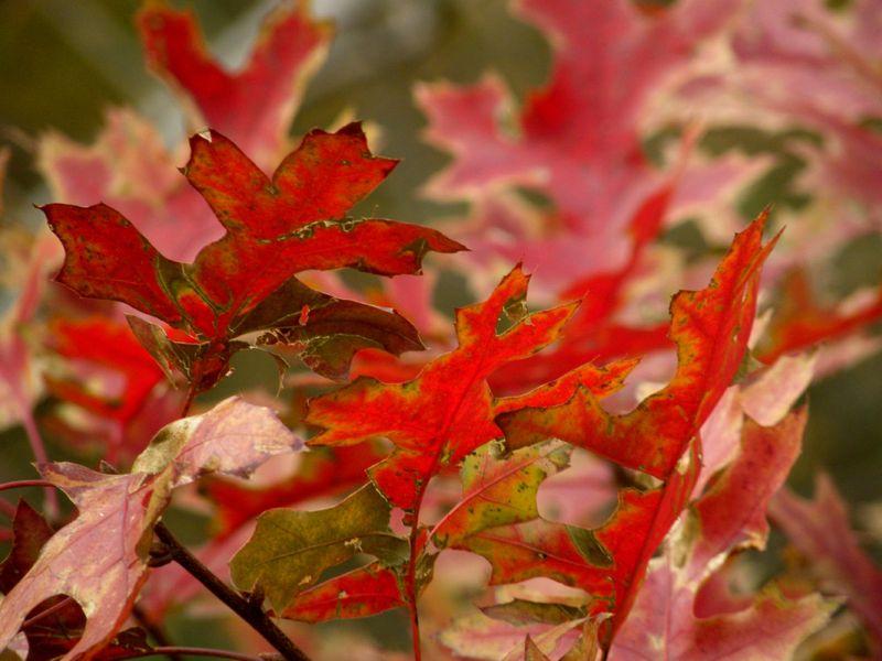 Scarlet oak 11-15-12