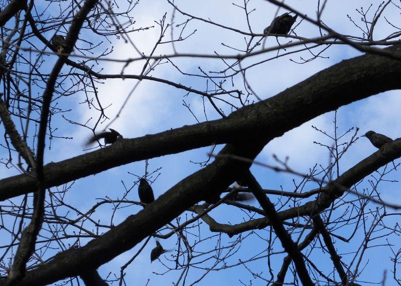 Starlings 3-27-13