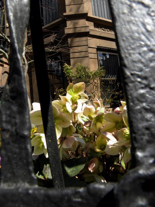 Hellebore garden PSlope 3-30-13