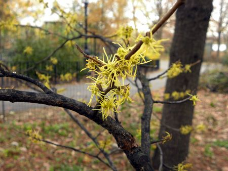 Witch hazel 11-15-12