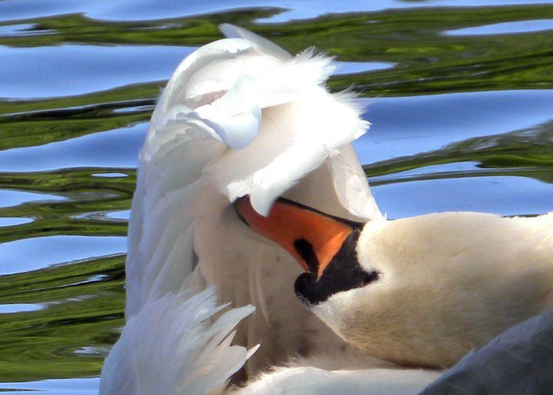 Swangroom 6-12-13