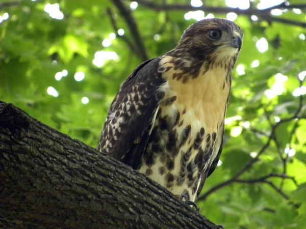 Red-tailed hawk 7-10-13