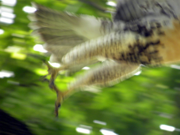Red-tail fly away 7-10-13