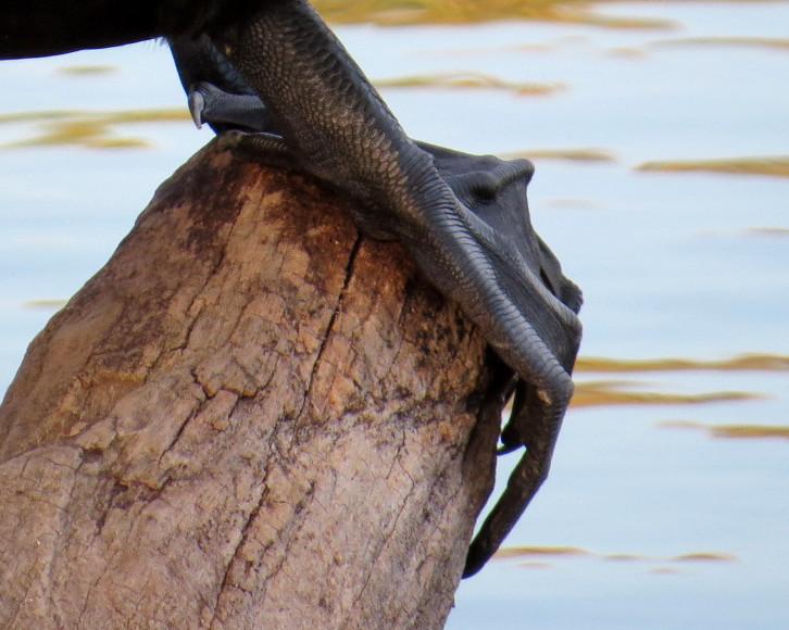 Cormorant feet 10-28-13