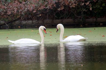 Swans 10-28-13