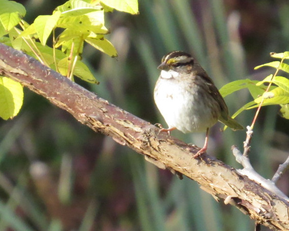 White-throated sparrow 10-28-13