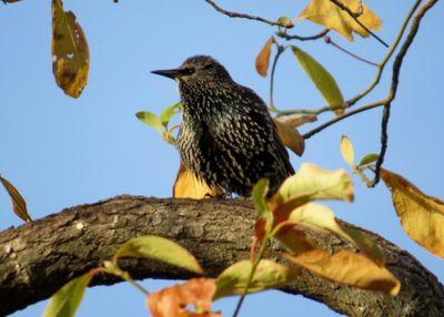 Starling 10-28-13