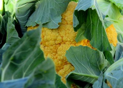 Yellow cauli 11-16-13