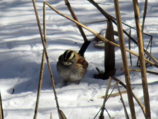 White-throated sparrow 1-29-14