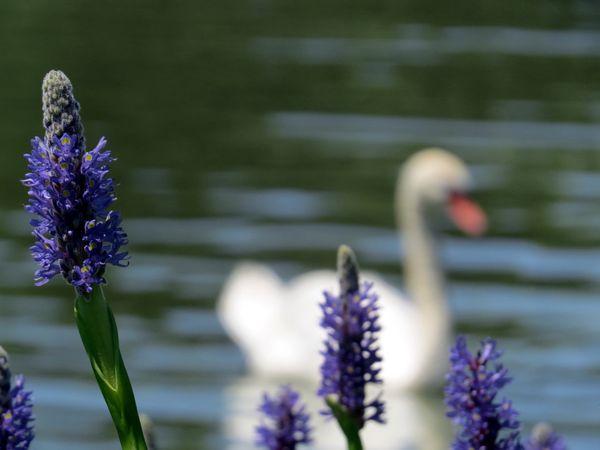 Swan 7-6-14