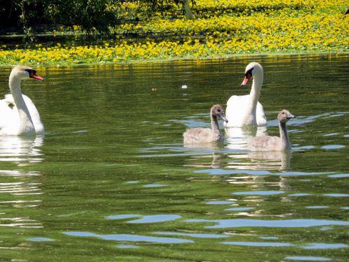 Swans 7-6-14