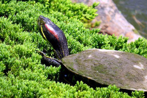 Red-eared turtle BBG 5-20