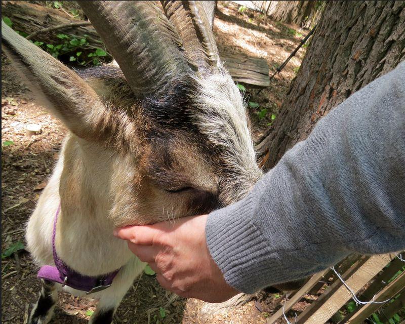 Goat Skittles n me 5-18-16