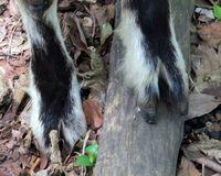 Goat hoofs