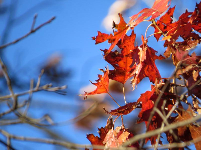 BBG Native Scarlet oak