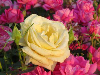 Yellow among pink