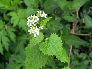 Foraging 5-7-16 garlic mustard