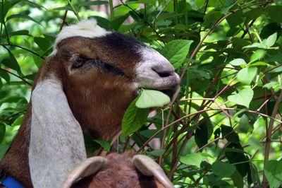 Goat grazing 5-18-16