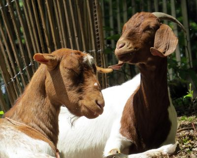 Goats 2-shot