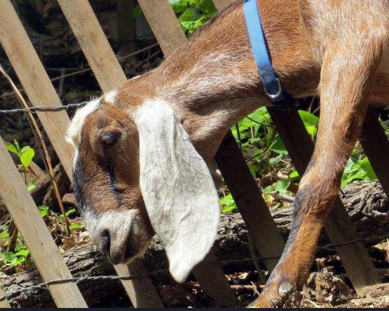 Goat long-eared
