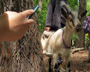 Goat and iphone