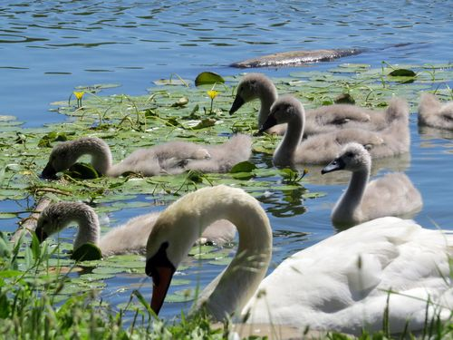 Cygnets arched 6-10-16