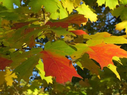BBG Native sugar maple