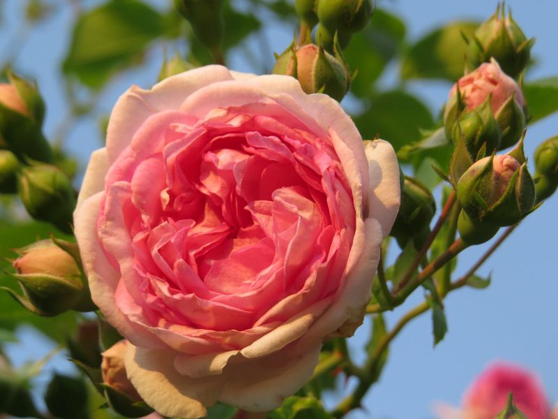 Pink climber