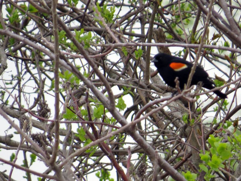 Foraging redwing blackbird