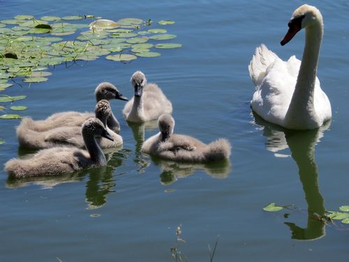 Cygnets group 6-10-16
