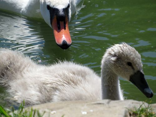 Cygnet and mom