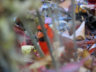 BBG Native cardinal